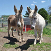 one white donkey and one brown donkey