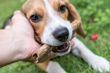 little beagle dog holding a stick